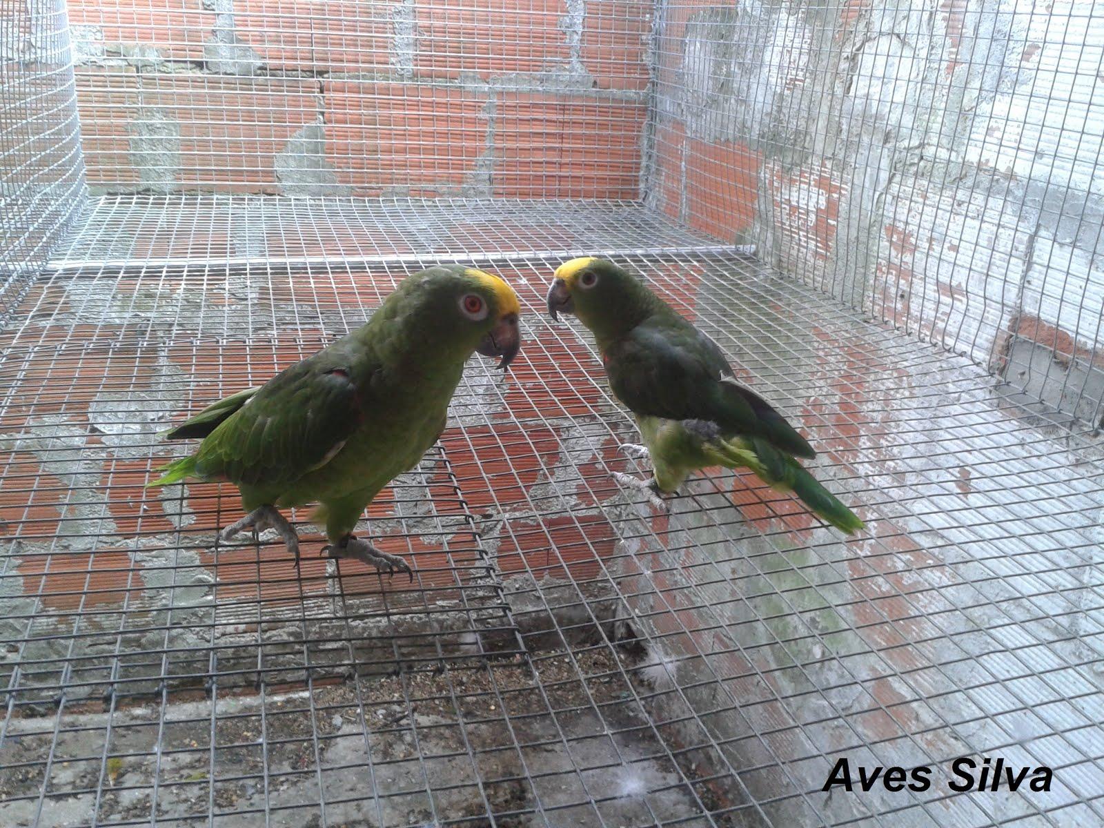 Amazonas ochrocephalas