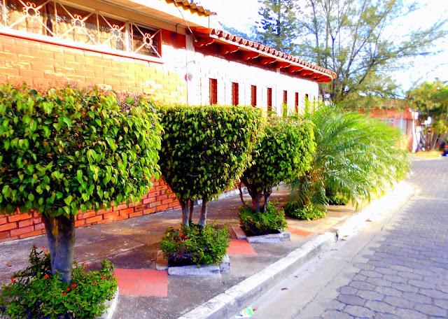 Fénix Robellin, Ficus Benjamina