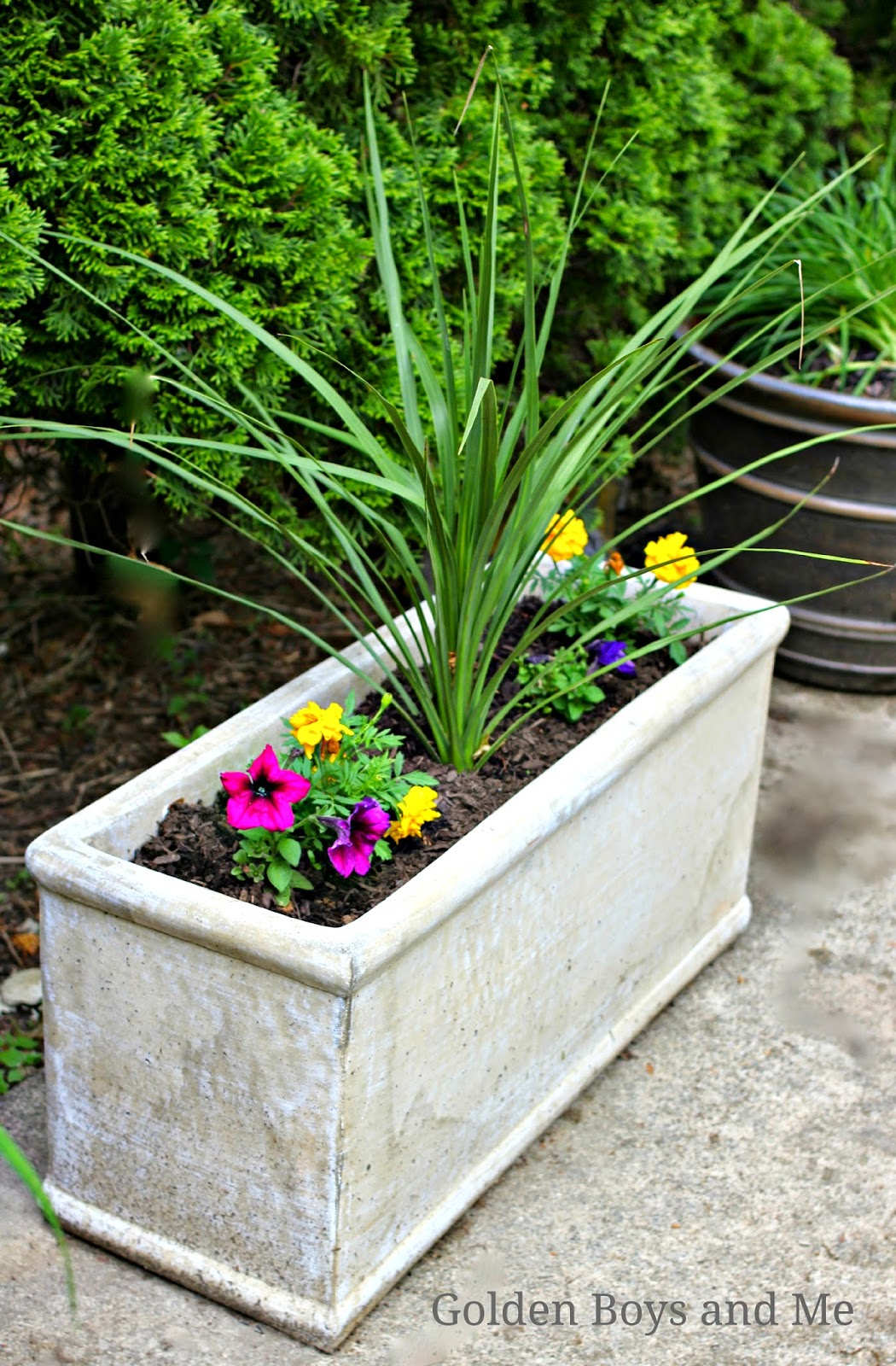 Concrete trough planter from Lowes with spikes, marigolds and petunias-www,goldenboysandme.com