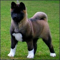 10 Best Asian Dog Breeds To Own