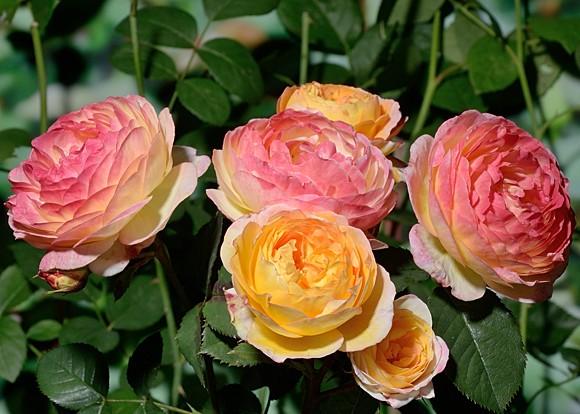Rosomane Janon rose сорт розы фото