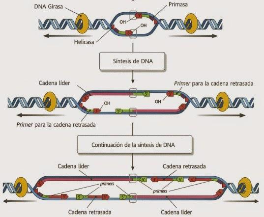 Enzimas que participan en la replicación del ADN   Apuntes de Evolución
