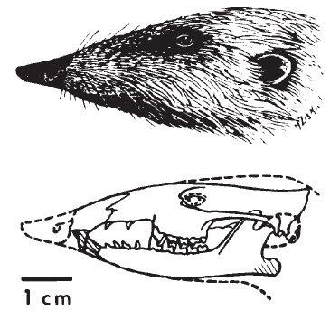 Zalambdalestes skull
