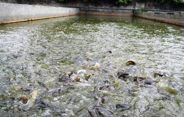 Populasi ikan lele dalam ekosistem kolam