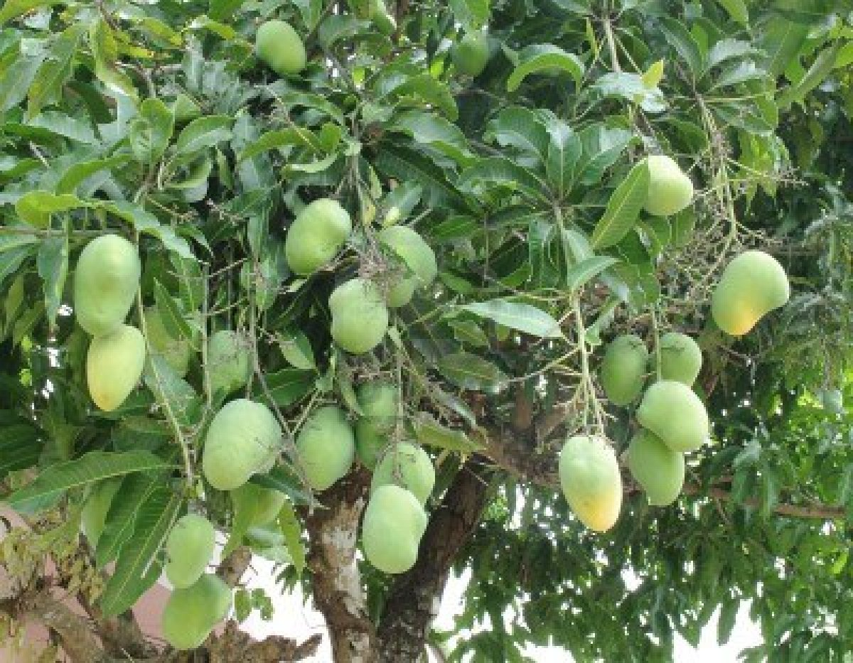 What is the life cycle of a mango tree?