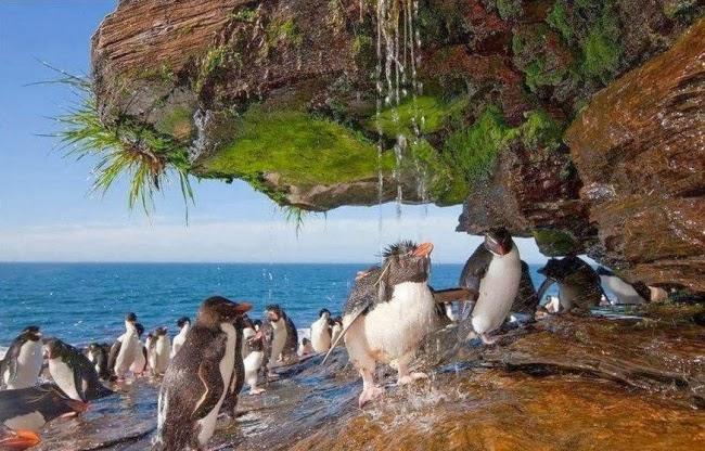 Пингвины принимают душ на Фолклендских островах, Южная Америка