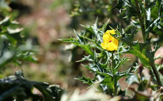 Argemone Mexicana Flowers Pictures