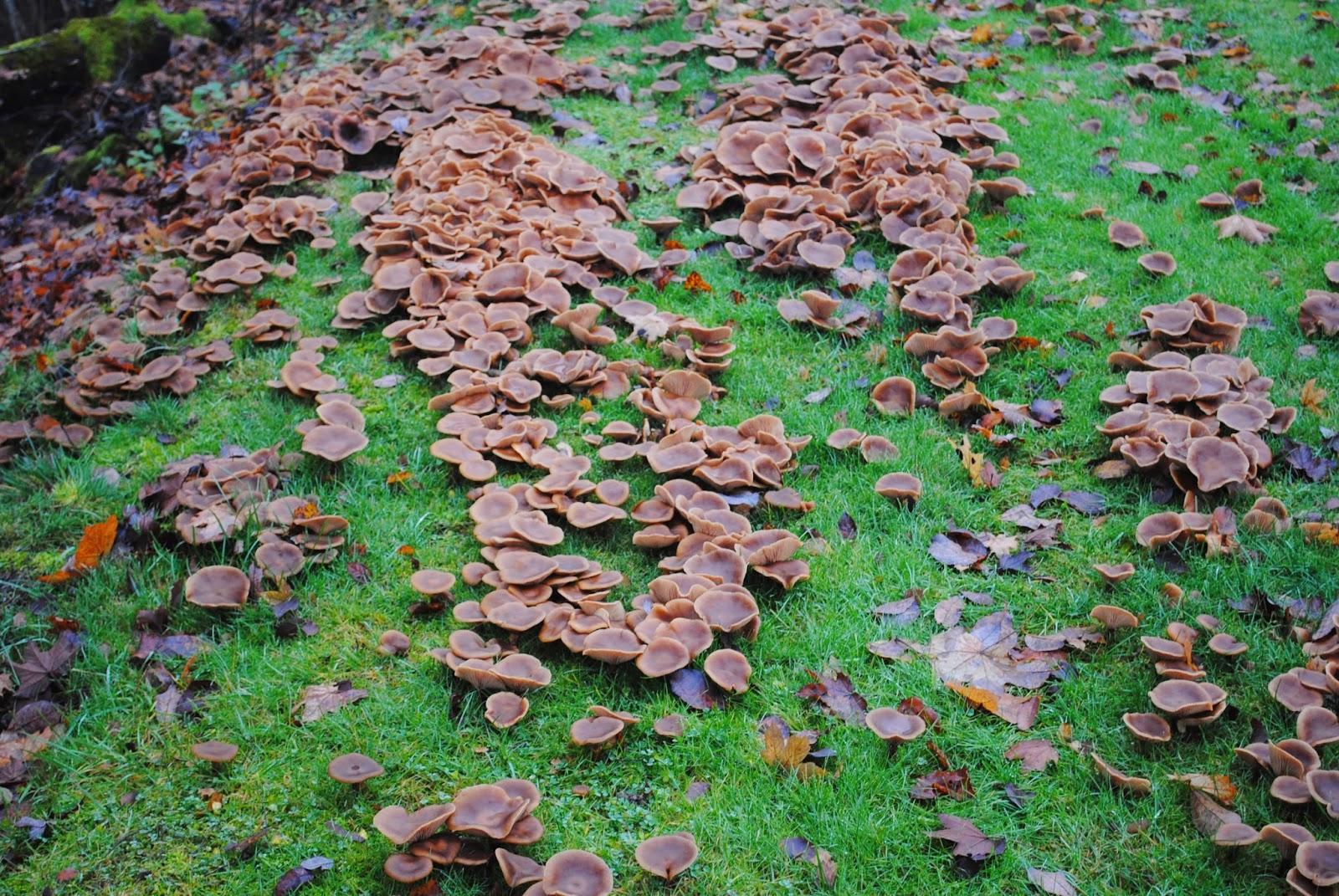 vintergrønn hekk som vokser raskt