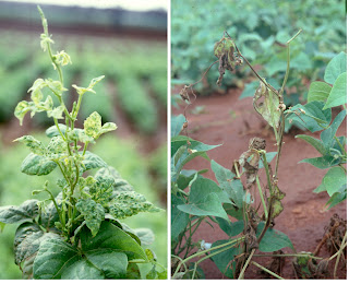 Although bean varieties resistant to bean common mosaic virus exist, these plants die off if they became infected with another virus, called bean common mosaic necrotic virus that is widespread in Africa. The plant on the left is infected with bean common mosaic virus and the plant on the right is resistant to bean common mosaic virus but has become infected with bean common mosaic necrotic virus (Image credit: CIAT, Uganda).