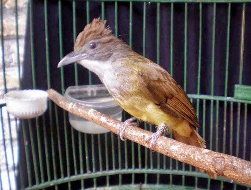 Burung Cucak Jenggot Jantan Harga Mahal