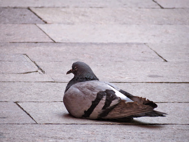 Pigeon sitting
