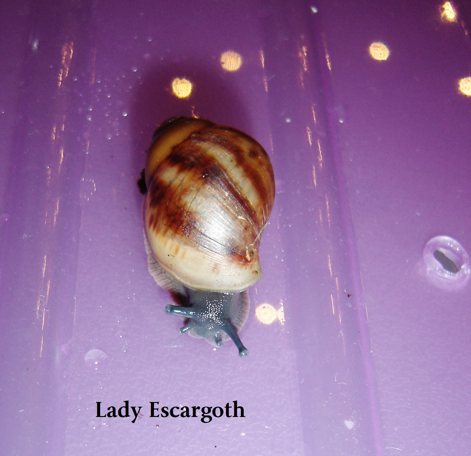 bébé archachatina marginata ovum