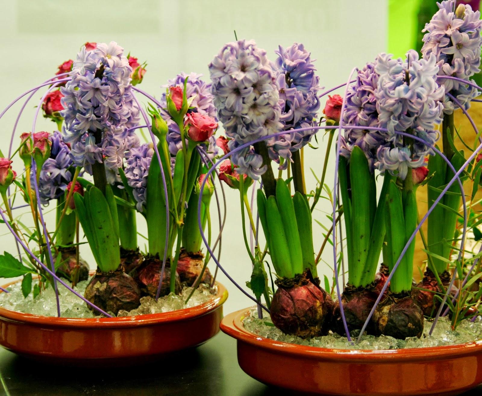 Peces y plantas ornamentales hyacinthus spp jacinto for Plantas decorativas ornamentales