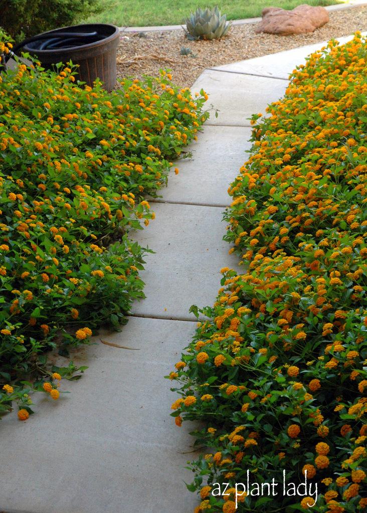 Seasonal Gardener Malady Ramblings From A Desert Garden