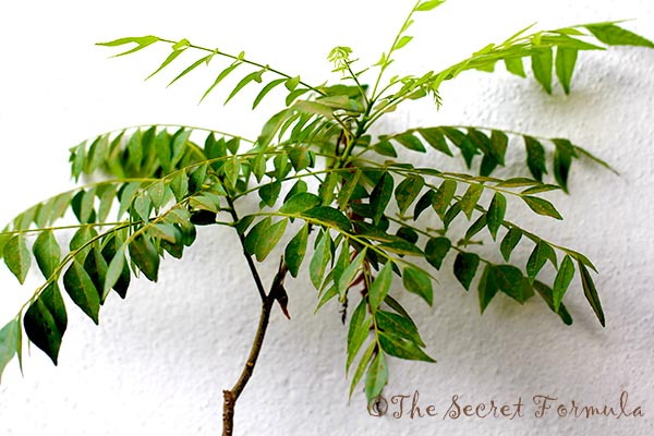how to grow curry leaves plant from stem