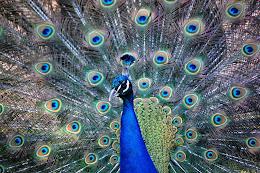 Riikinkukon katse / hyvin sininen