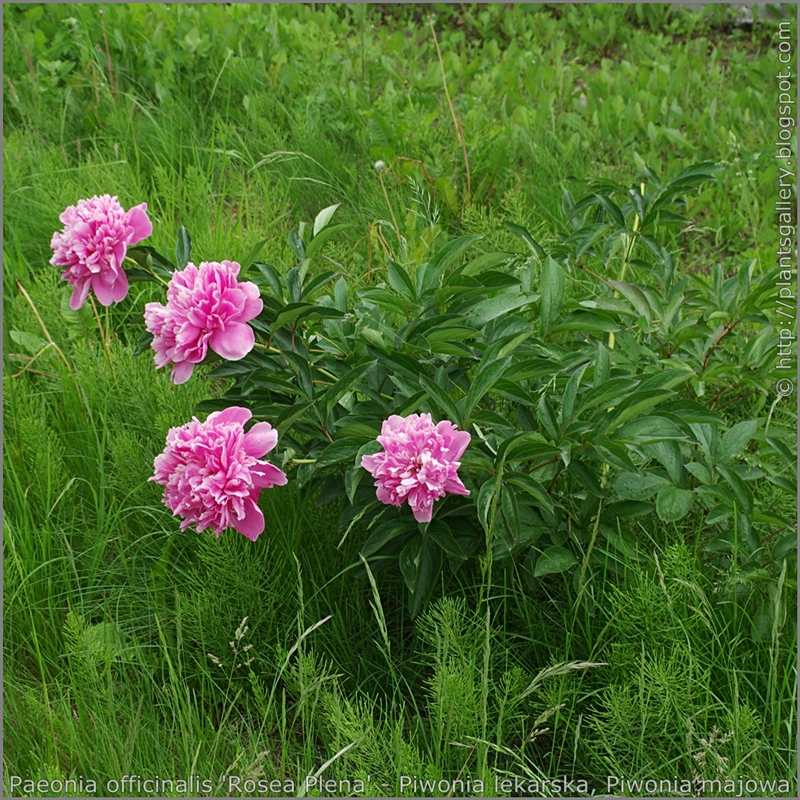 Paeonia officinalis 'Rosea Plena' - Piwonia lekarska, Piwonia majowa