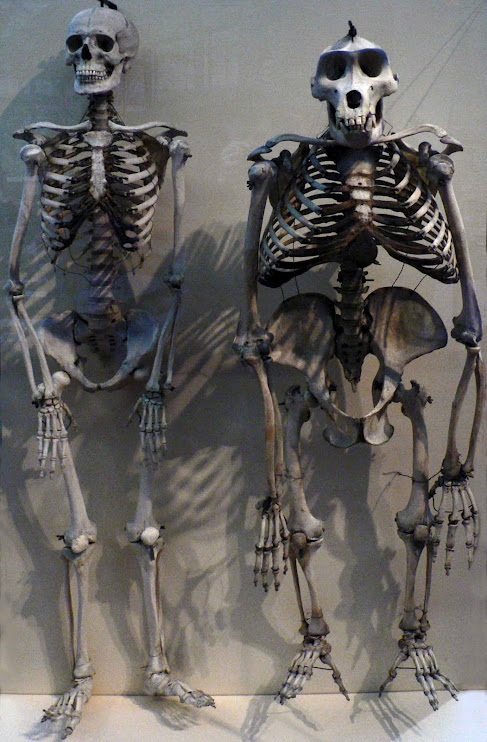 Skeleton human and gorilla