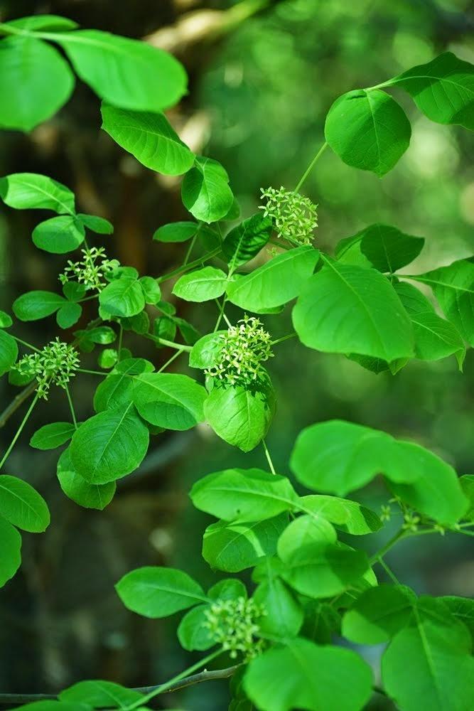 Hop Tree - Ptelea trifoliata  6519