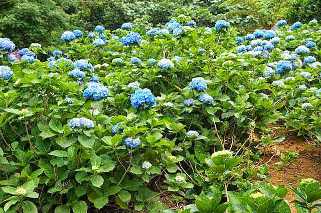 blue hydrangea, flowers
