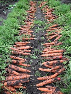 vkusniogorod, уборка морковки