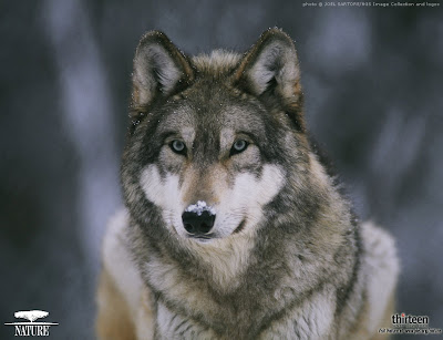 Wolf Wallpapers