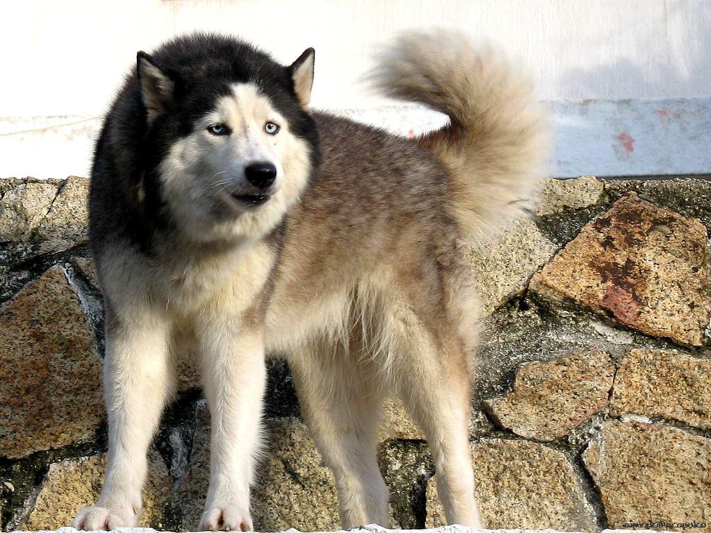 Wolf Like Dogs