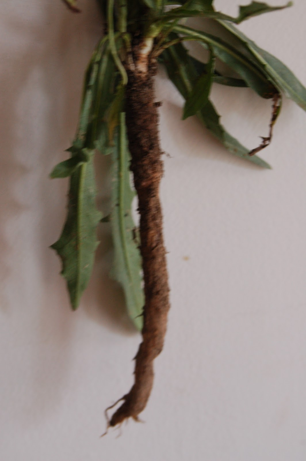 how to use chicory root