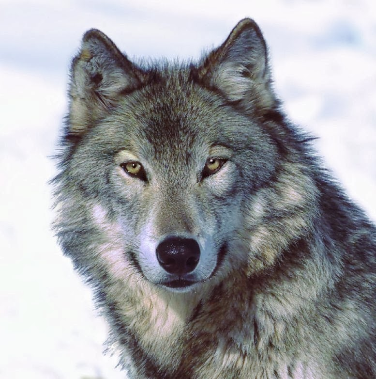 Willkommen Wolf