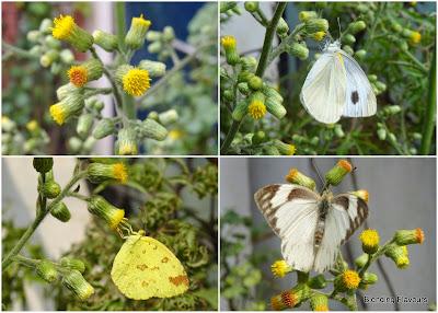 Blumea balsamifera/Mugongre