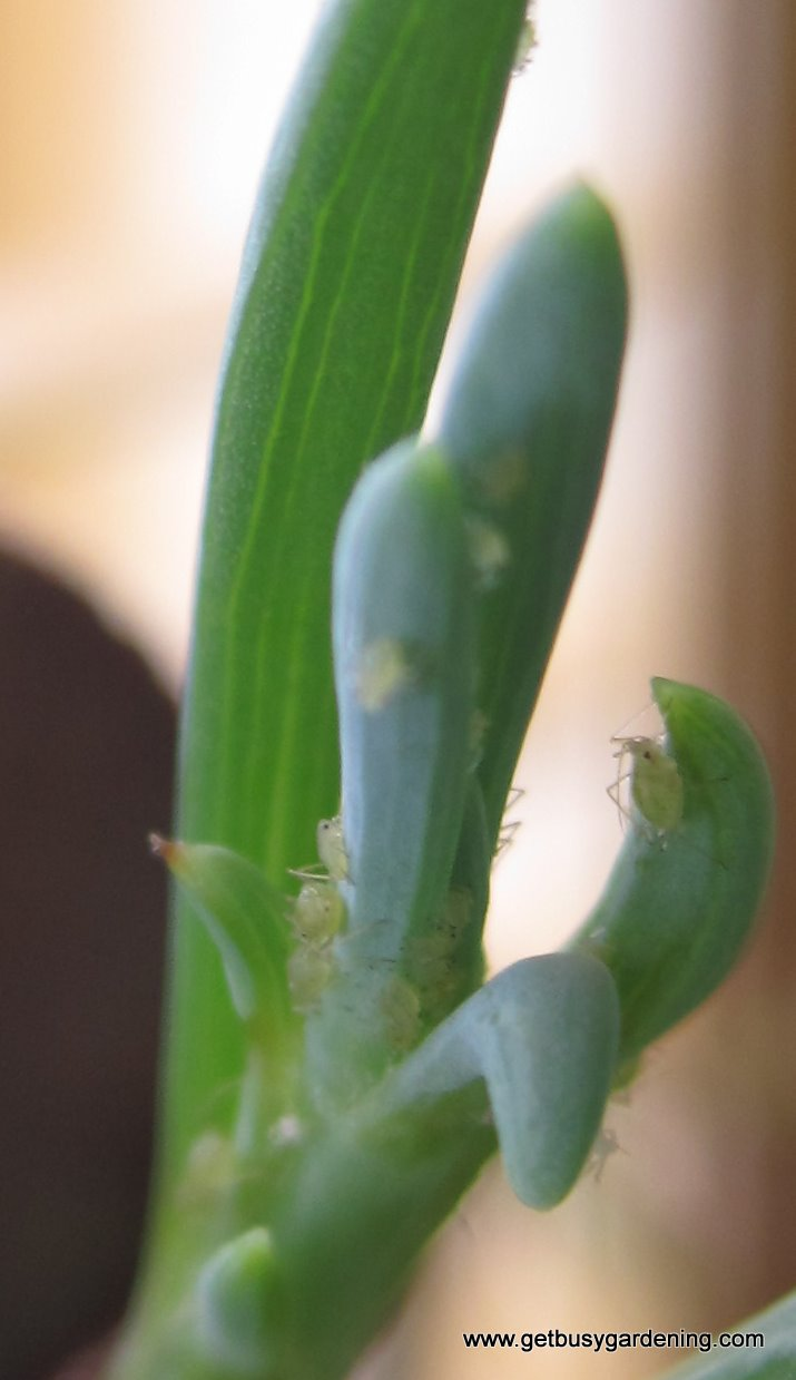 Aphids on succulent plant