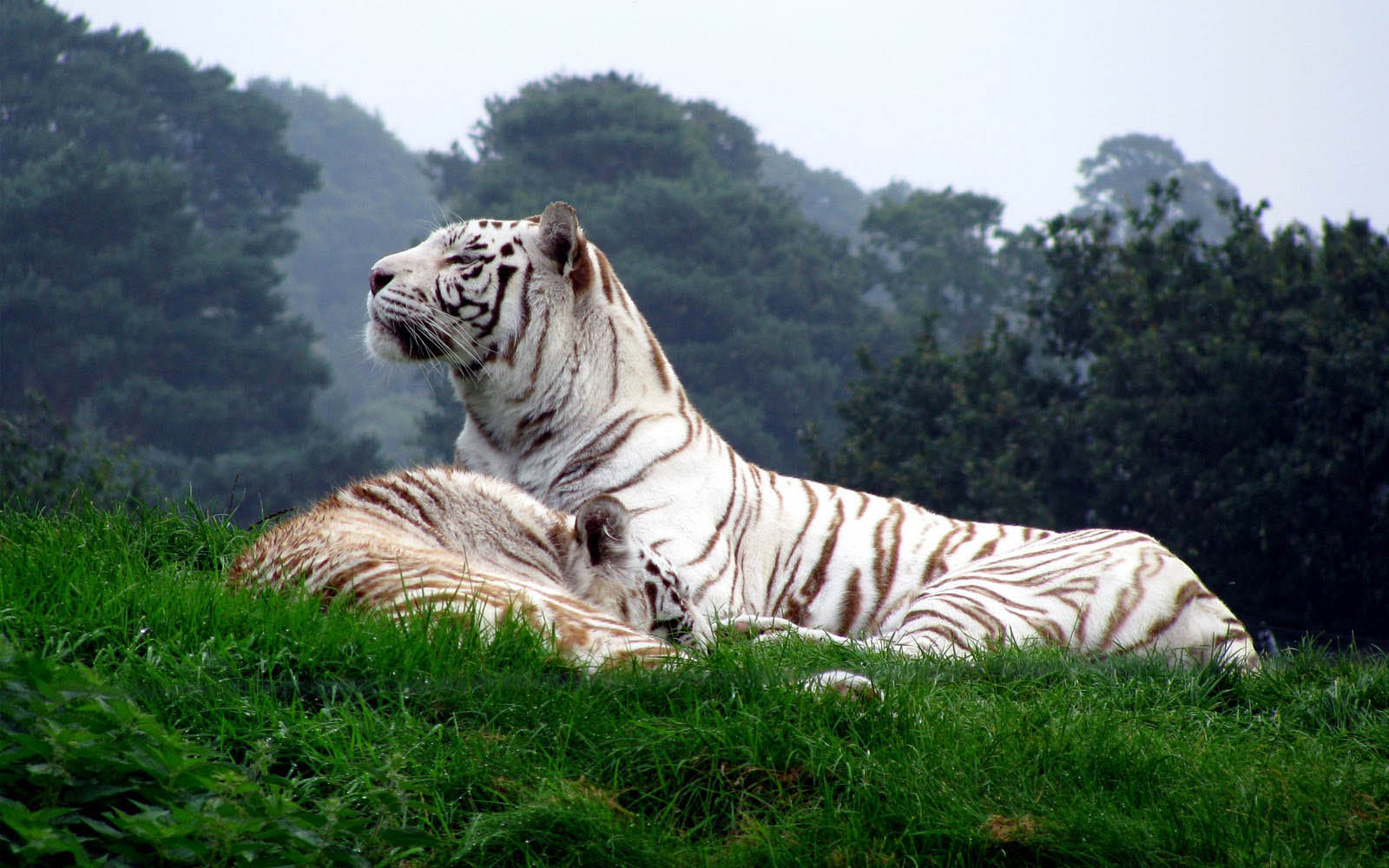 White+Tiger+Wallpapers+02 En Güzel HD Masaüstü Kaplan Resimleri