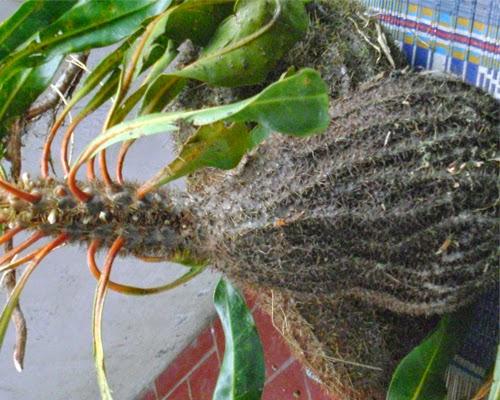 Sarang semut myrmecodia pendans papua