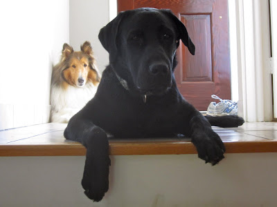 Black lab Romero is lying on the white tile floor at the top of a small staircase leading to the front door. He is staring seriously into the camera and has his front paws hanging over the top step. Behind him on the left side of the picture, collie Tanner is relaxing in the corner right by the door, also staring inquisitively into the camera. A pair of running shoes is sitting by the door, all ready for an evening walk.