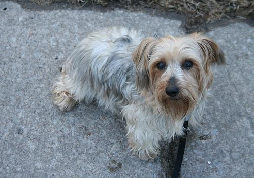silky terrier puppy pictures silky terrier long fine hair vulnerable ...