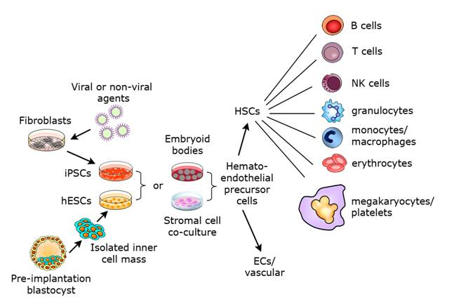 stem cell research biology articles The specialty stem cell research covers all aspects of stem cell research ranging from molecular biology and cell biology to tissue regeneration.