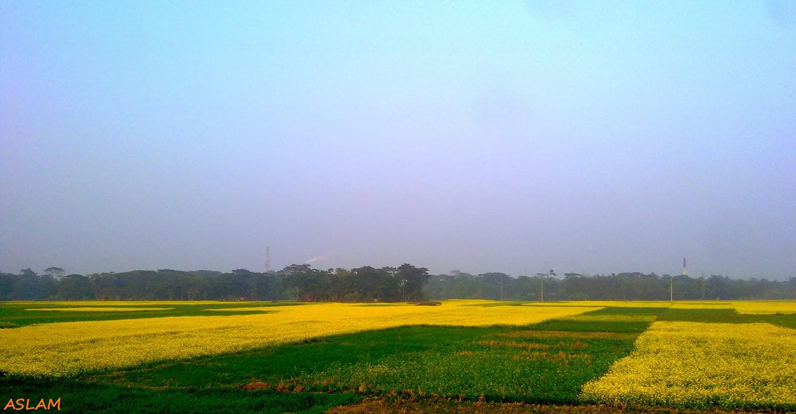 Beautiful yellow field