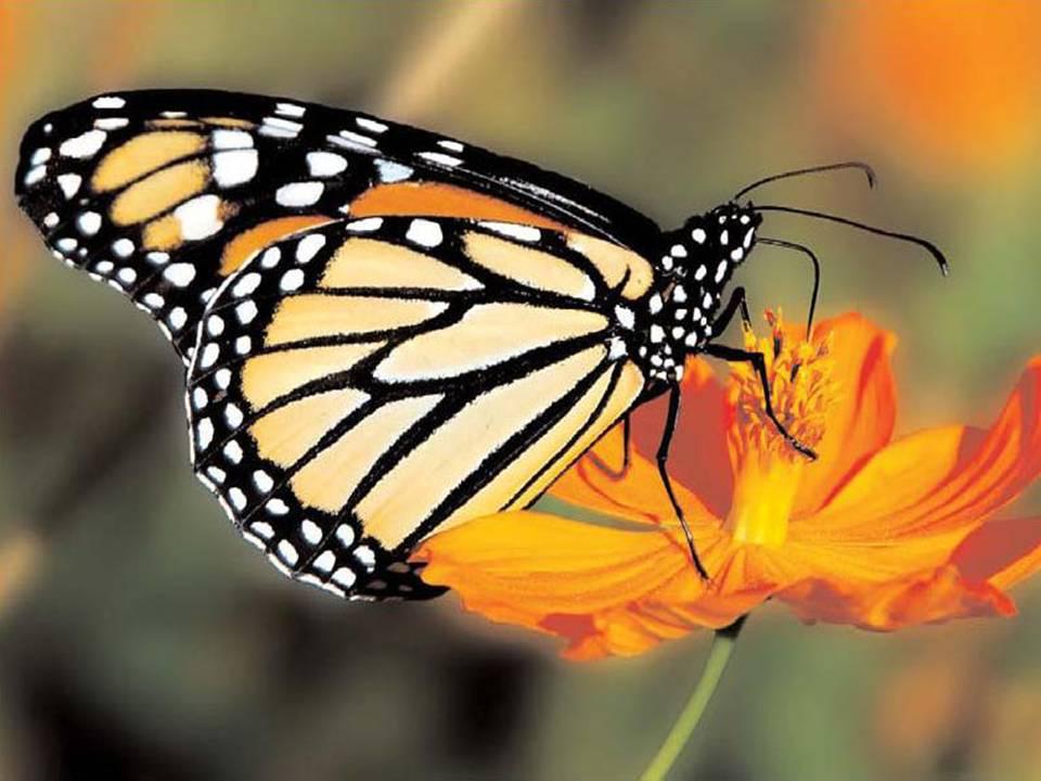 Коллекционера в великобритании признали виновным в совершении шести преступлений в отношении редкой бабочки