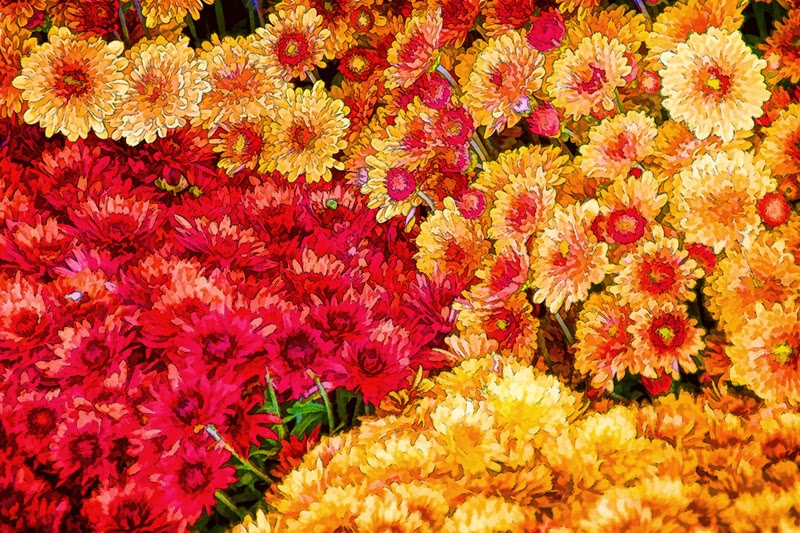 chrysanthemums, mums, colorful flowers