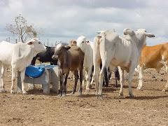 Bovinos consumindo água em bolbona plástica