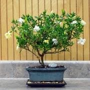 Bonsai, Regalos Dia de la Madre.