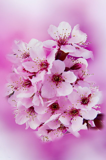 hinh nen hoa tet iphone - anh 3
