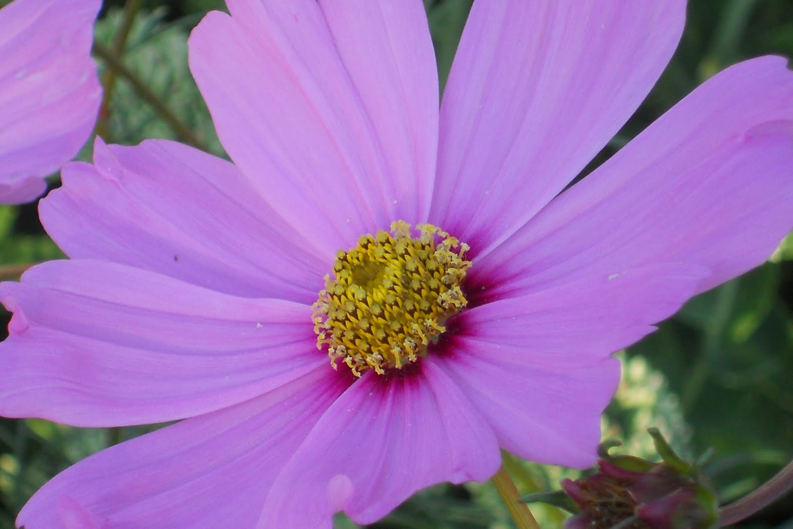 Lilac Gate Cosmos Flowers