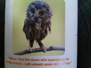 Tiny Owl Fury!!