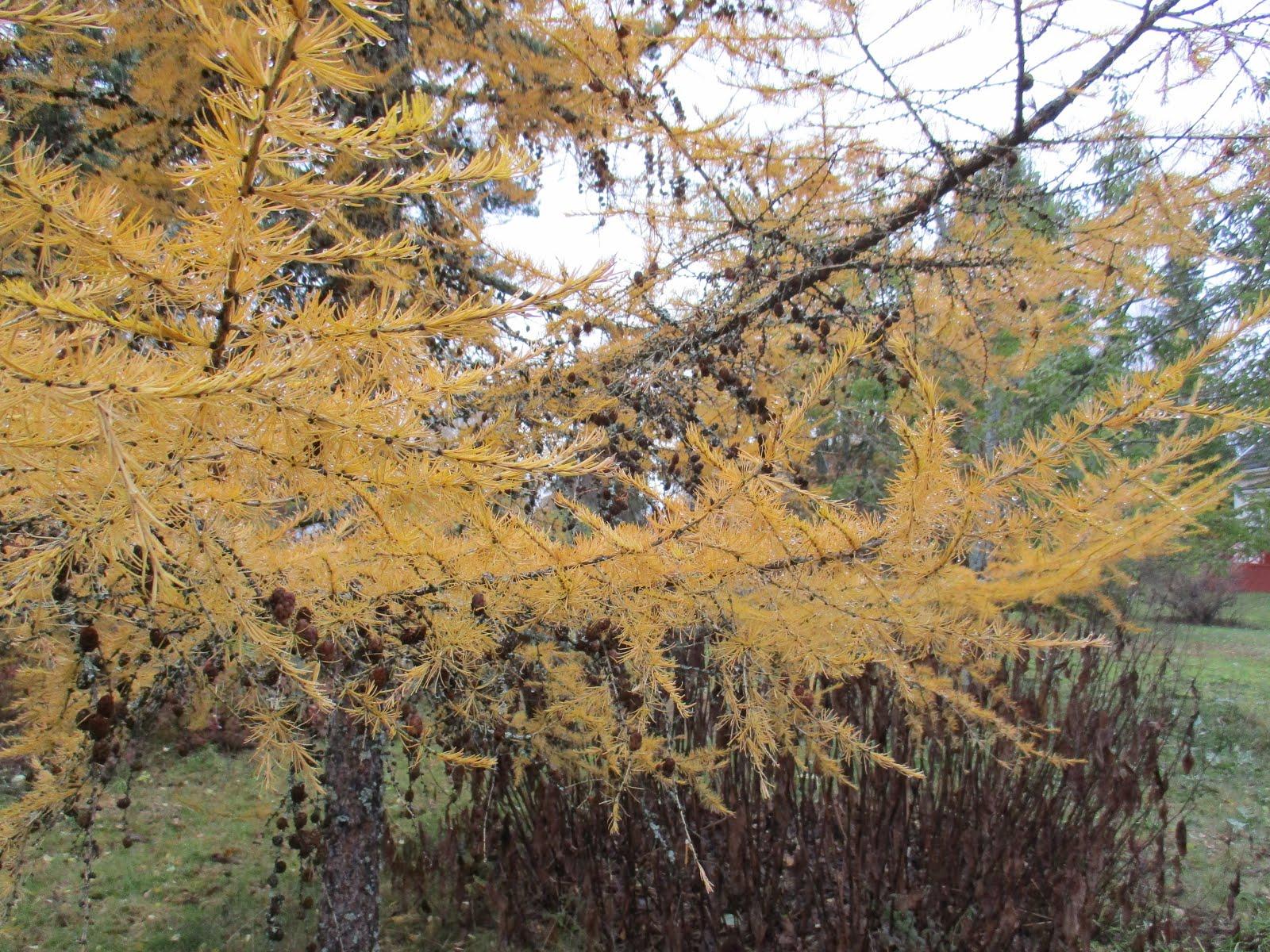 Lehtikuusen keltaista syksyllä