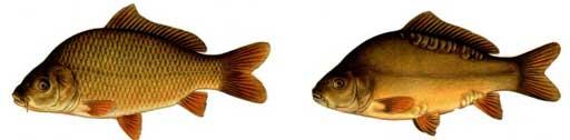 Distinguishing sex of fish can