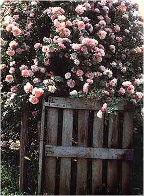 Glamis Castle Roses- Rose Inglesi -shabby&CountryLife.blogspot.it