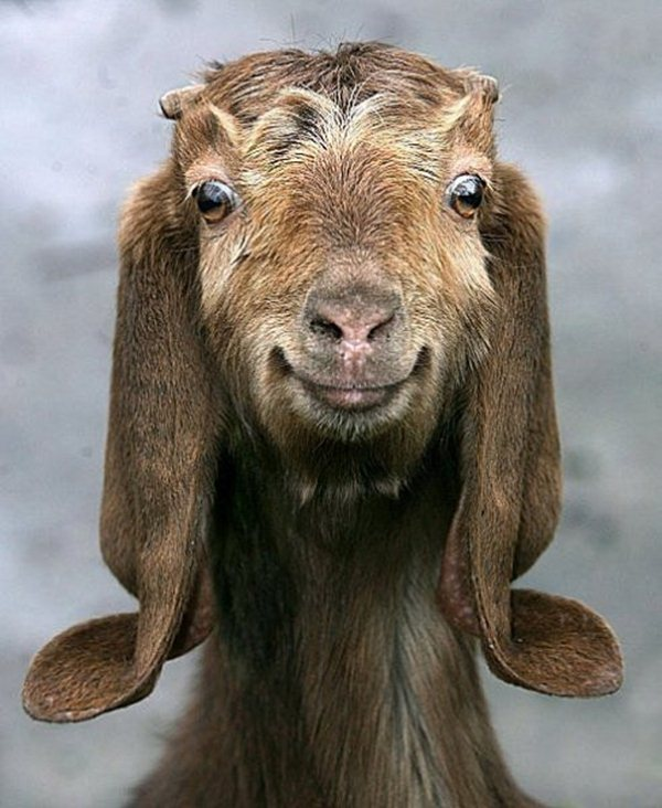 funny animals, smiling goat