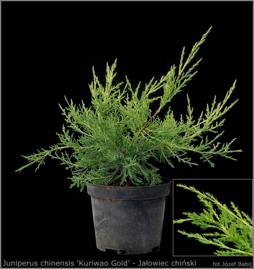 Juniperus chinensis 'Kuriwao Gold' - Jałowiec chiński