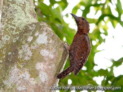Rufous Woodpecker (Micropternus brachyurus)